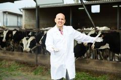 Ветеринар с коровами в ферме поголовья стоковые изображения