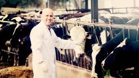 Ветеринар с коровами в ферме поголовья Стоковая Фотография RF