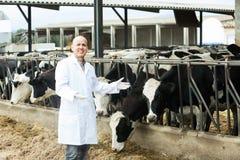 Ветеринар с коровами в ферме поголовья Стоковые Фотографии RF
