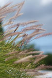 ветерок засевает лето травой одичалое Стоковая Фотография RF