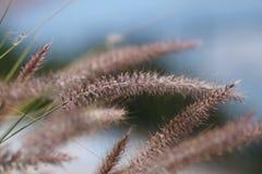 ветерок засевает лето травой одичалое Стоковые Изображения