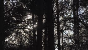 Ветер в сосновом лесе сток-видео