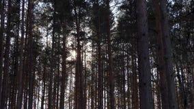 Ветер в сосновом лесе видеоматериал