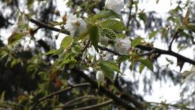 Ветер дует вишневые цвета в дереве нежно видеоматериал