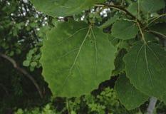Ветер дует яркие ые-зелен листья липы Стоковые Изображения