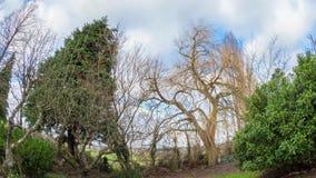 Ветер дуя через дерево вербы видеоматериал