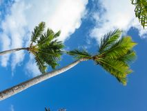 Ветер и пальмы на пляже Каталонии Bavaro в Доминиканской Республике стоковая фотография rf