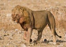 ветер льва satiated мужчиной гуляя Стоковые Изображения RF
