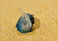 ветер матроса медуз Стоковое Изображение RF