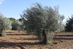 ветер Оливковое дерево согнуто ветром стоковые фотографии rf
