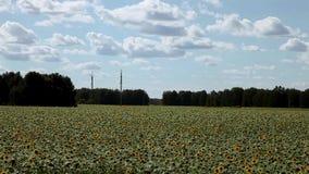 Ветер пошатывает солнцецветы field, Altai, Россия видеоматериал