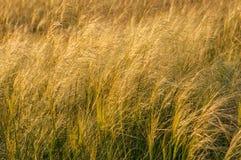 ветер солнечного света травы поля пера предпосылки Стоковое Изображение