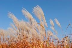 ветер тростников Стоковые Изображения