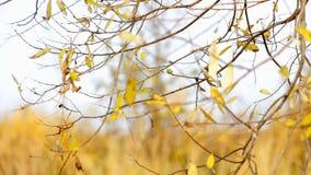 Ветер трясет листья желтого цвета осени акции видеоматериалы