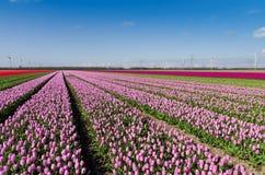 ветер турбин тюльпанов поля розовый Стоковое фото RF