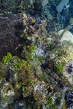 Ветреница в большом рифе Стоковая Фотография