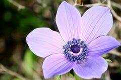 ветреница детализирует пурпур цветка Стоковые Изображения