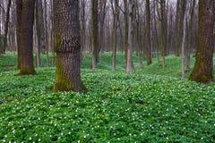 Ветреница на зеленой траве и деревья вокруг ее Стоковые Фото