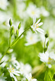 ветреница цветет белизна весны Стоковые Фотографии RF