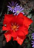 ветреница цветет тюльпан Стоковые Изображения