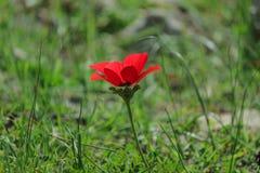 Ветреница цветка весны зацветая красная среди камней Стоковая Фотография RF
