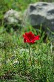 Ветреница цветка весны зацветая красная среди камней Стоковые Фотографии RF