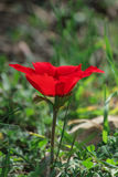 Ветреница цветка весны зацветая красная среди камней Стоковые Изображения