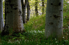 ветреницы деревянные Стоковое фото RF