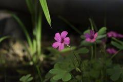 Ветреный розовый цветок в лесе снял в после полудня с зеленой травой на заднем плане Стоковые Фото