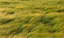 Ветреный ячмень Стоковые Фотографии RF