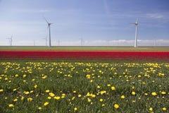 Ветротурбины против голубого неба и желтого красного тюльпана field в hol Стоковое фото RF
