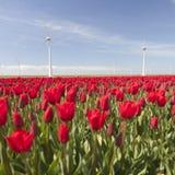 Ветротурбины против голубого неба и красного тюльпана field в Голландии Стоковая Фотография