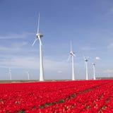 Ветротурбины против голубого неба и красного тюльпана field в Голландии Стоковое Изображение