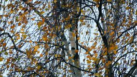 Ветры шторма трясут дерево с красочными листьями