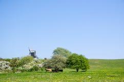 Ветрянка и коровы пасти Стоковое фото RF