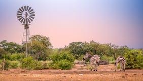 Ветрянка на waterhole с выпивать 2 зебр Стоковое Изображение