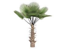 ветрянка trachycarpus ладони fortunei Стоковое Фото