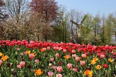 Ветрянки Голландии и поле тюльпанов Стоковая Фотография RF