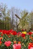 Ветрянки Голландии и поле тюльпанов Стоковое Фото