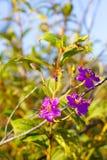 Ветчина stellata Osbeckia предпосылка нерезкости flowe Стоковое Фото