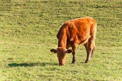 Вечер весны на выгоне Коровы пасут траву Вечер на ферме в чехии Размножение скотин Стоковые Изображения RF
