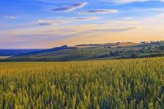 Вечер в пшеничном поле Стоковая Фотография RF