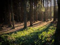 Вечер в древесинах Стоковое Фото