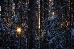 Вечер в темном лесе, рождество Лучи Солнця в темноте Новый Год, предусматриванный в снеге Елевые сосны деревьев покрытые с снегом Стоковые Фотографии RF