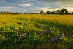 Вечер на дороге травы в саванне, Moremi, перепаде Okavango в Ботсване, Африке Заход солнца в африканской природе Золотая трава со стоковая фотография