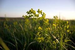 Вечер на траве захода солнца на переднем плане Стоковое Изображение RF