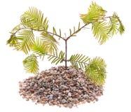 вечнозеленая растущая сосенка трясет вал стоковые изображения rf