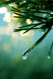 вечнозеленая сосенка Стоковые Фотографии RF
