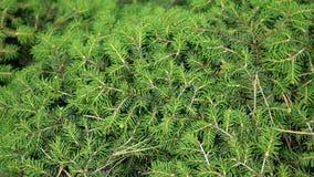 Вечнозеленая хвоя Абстрактная предпосылка ветвей сосны или ели С иглами : r сток-видео