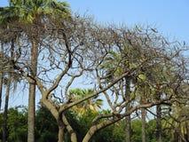 Вечнозеленое дерево carob Стоковая Фотография